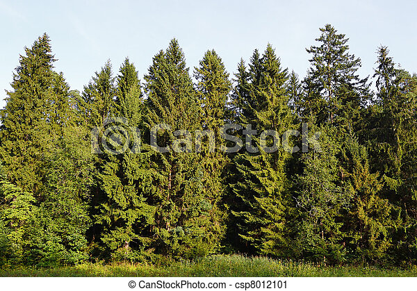 Spruce forest - csp8012101