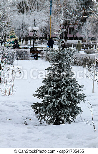 Spruce tree in the winter park - csp51705455