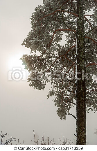 Spruce tree in winter with sun shinning behind the clouds - csp31713359