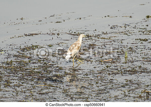 Squacco heron wading in river with grass reeds - csp50660941