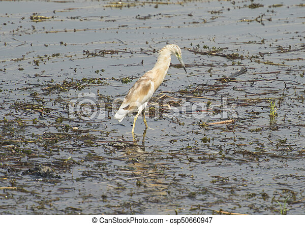 Squacco heron wading in river with grass reeds - csp50660947