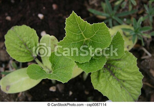 Squash Seedlings - csp0087114