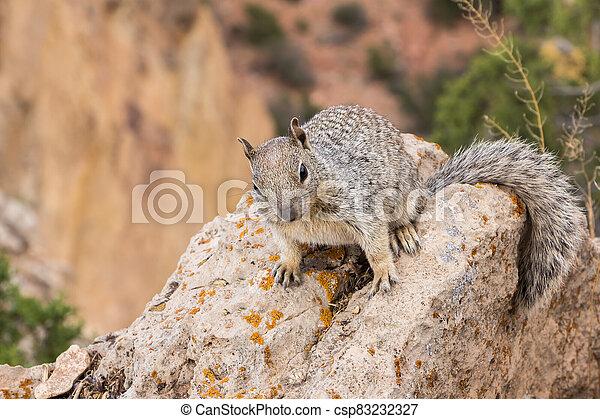 Squirrel along Grand Canyon - csp83232327