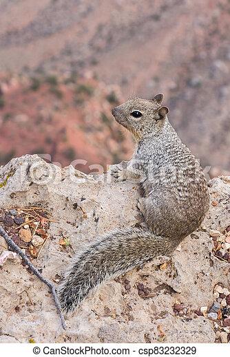 Squirrel along Grand Canyon - csp83232329