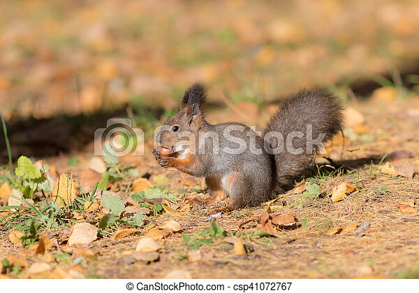 squirrel eating a nut - csp41072767