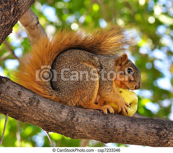 squirrel eating apple - csp7233346