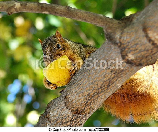 squirrel eating apple - csp7233386