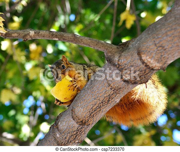 squirrel eating apple - csp7233370