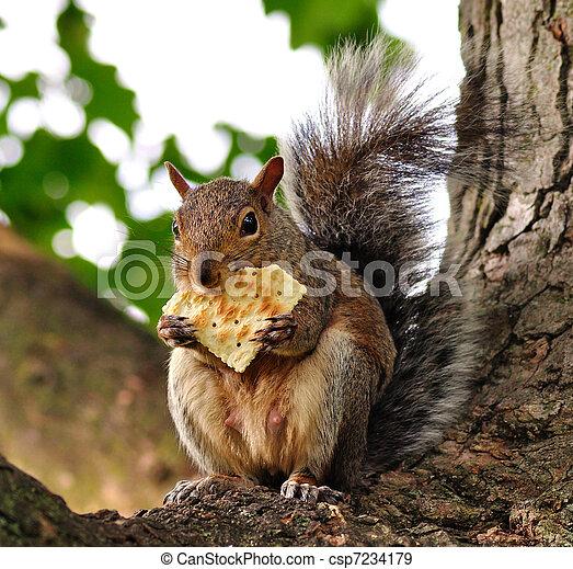 squirrel eating cracker - csp7234179