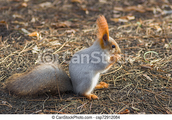Squirrel eating while standing on the ground - csp72912084