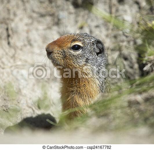 Squirrel head in the ground. British Columbia. Canada - csp24167782