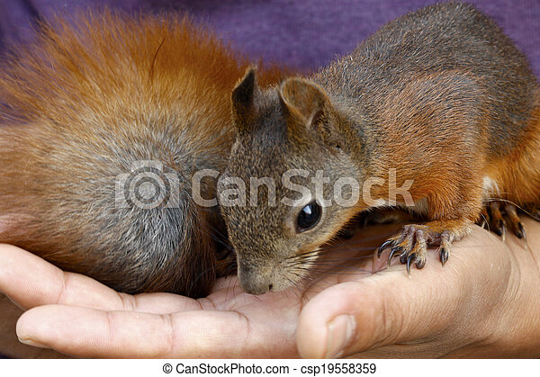 squirrel in a hand - csp19558359