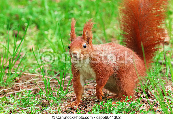 squirrel in the grass Sciurus vulgaris - csp56844302