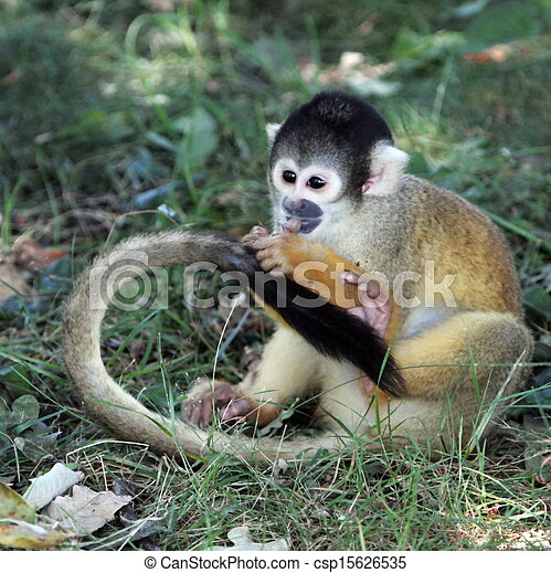Squirrel monkey eating on the ground - csp15626535
