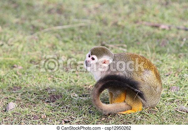 squirrel monkey - csp12950262