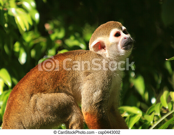 Squirrel Monkey - csp0443002