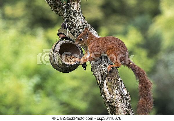 Squirrel on a bird feeder - csp36418676