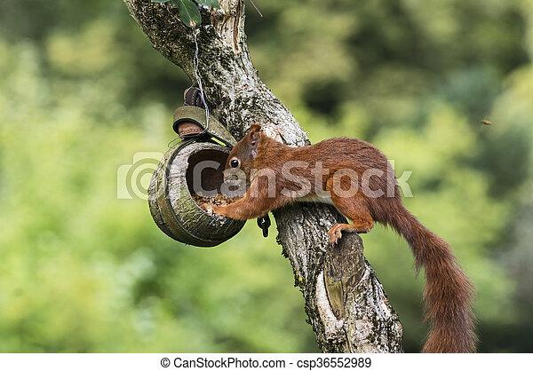 Squirrel on a bird feeder - csp36552989