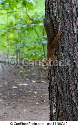 Squirrel on a tree - csp11106312