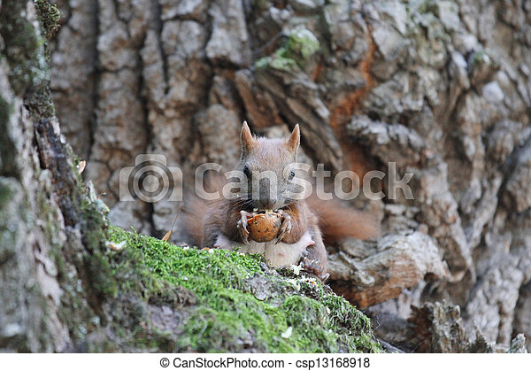 squirrel on a tree - csp13168918