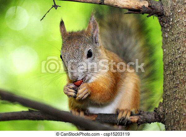 Squirrel on a tree - csp15203119