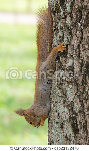squirrel on a tree - csp23132476