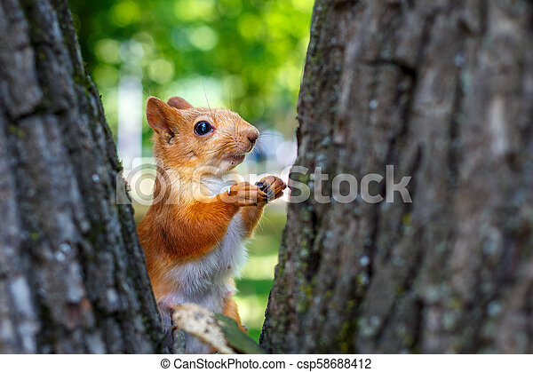 squirrel on a tree - csp58688412