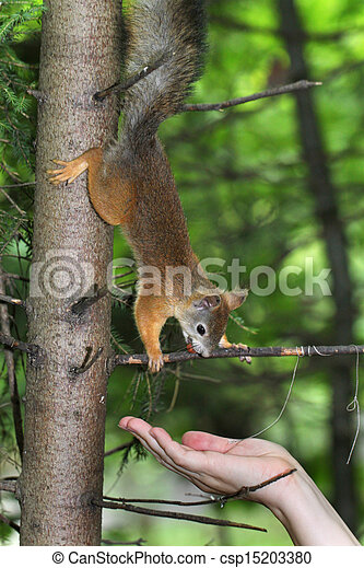 Squirrel on a tree - csp15203380