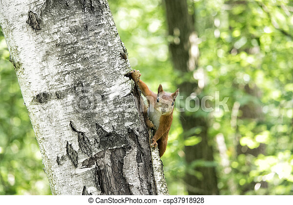 squirrel on a tree - csp37918928