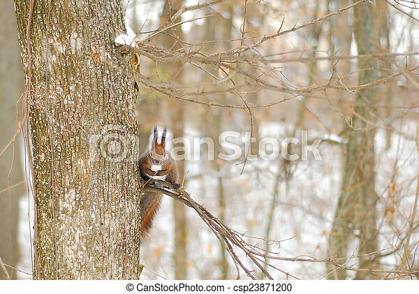 squirrel on a tree - csp23871200