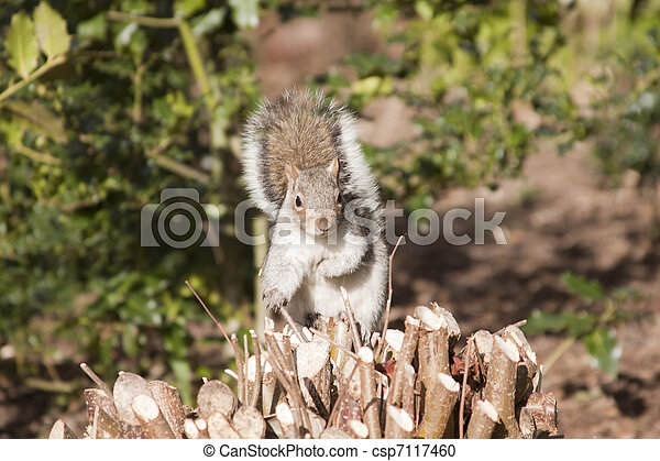 squirrel on a tree - csp7117460