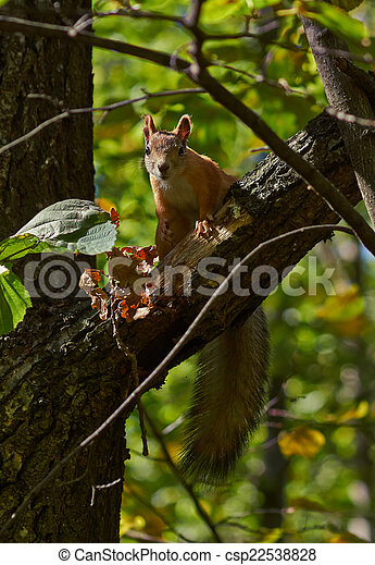 Squirrel on a tree trunk in the forest. - csp22538828