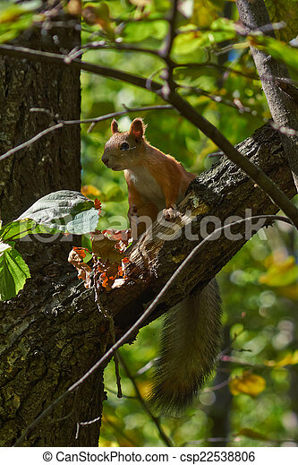 Squirrel on a tree trunk in the forest. - csp22538806