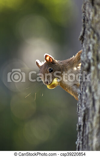 Squirrel on a tree with an oak - csp39220854