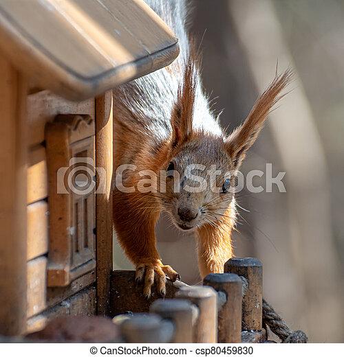 Squirrel on the bird feeder - csp80459830