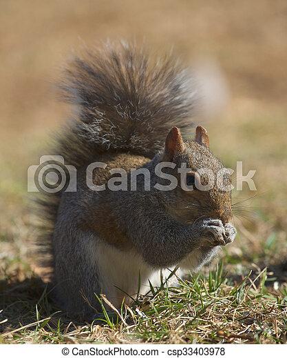 Squirrel on the ground - csp33403978
