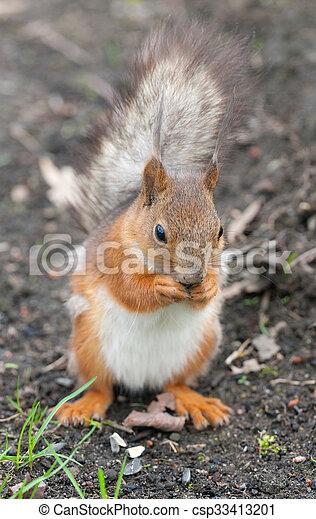 squirrel on the ground - csp33413201