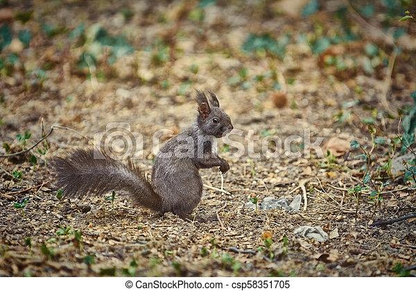 Squirrel on the Ground - csp58351705