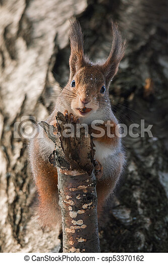 squirrel on the tree in winter - csp53370162