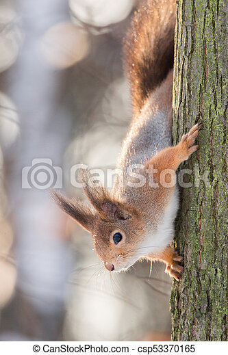 squirrel on the tree in winter - csp53370165