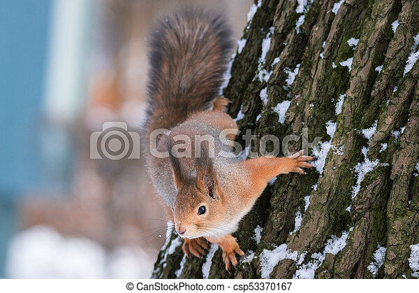 squirrel on the tree in winter - csp53370167