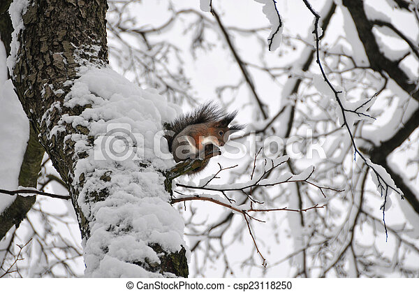 Squirrel on the tree in Winter - csp23118250