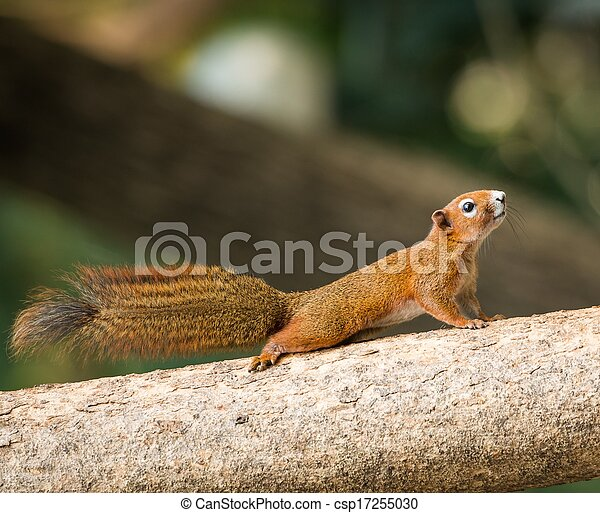 squirrel or small gong, Small mammals on tree - csp17255030