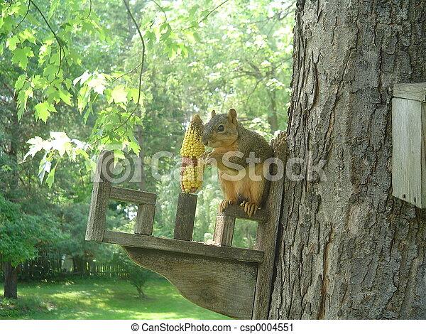 Squirrel - csp0004551