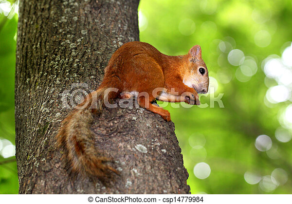 Squirrel sitting in a tree eating a nut - csp14779984