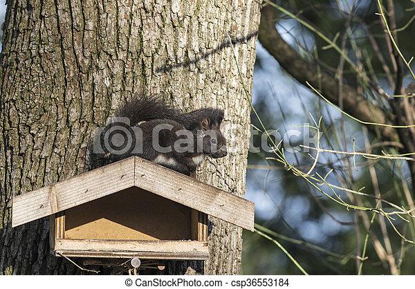Squirrel sitting on a bird seeder - csp36553184