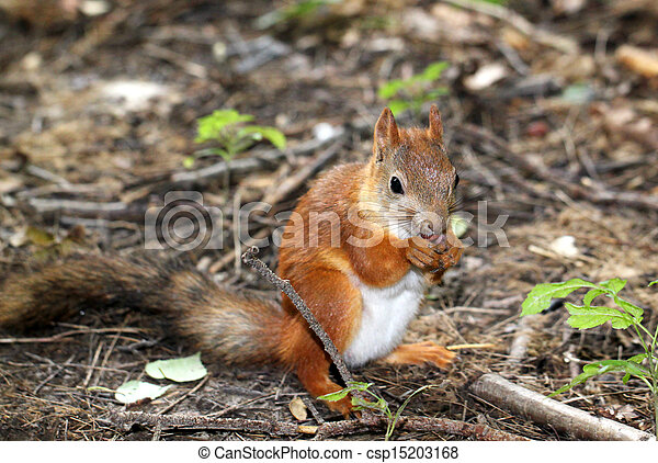 Squirrel sitting on the ground and eats a nut - csp15203168