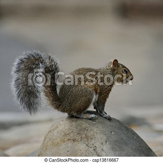 Squirrel - csp13816667