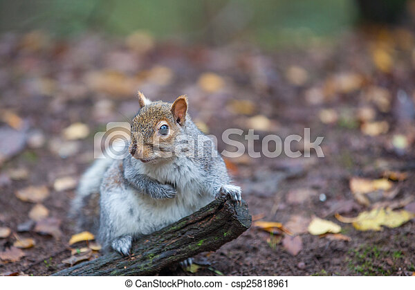 Squirrel - csp25818961