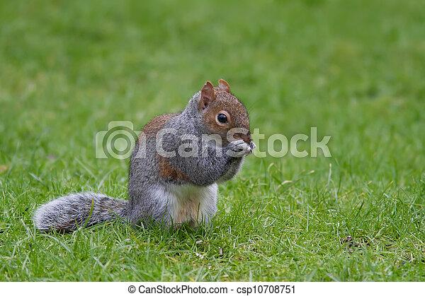 Squirrel - csp10708751